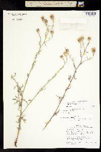 Centaurea stoebe image