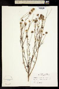 Image of Balduina angustifolia