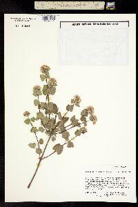 Image of Ageratina calophylla