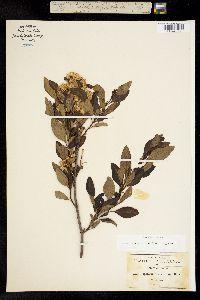 Image of Ageratina glabrata