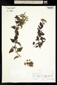 Image of Ageratina havanensis