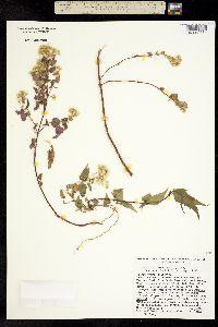 Ageratina malacolepis image