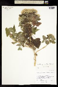 Ageratina petiolaris image