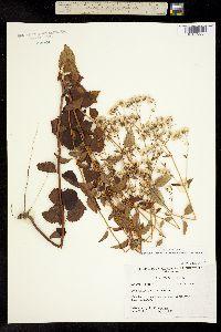 Image of Ageratina jucunda