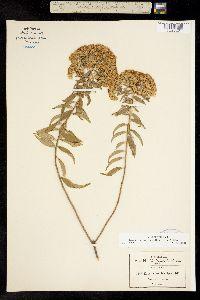 Image of Ageratina brevipes