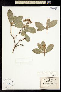Image of Ageratina viburnoides