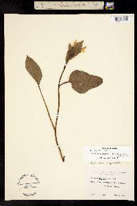 Image of Agnorhiza bolanderi
