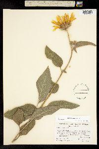 Image of Agnorhiza elata