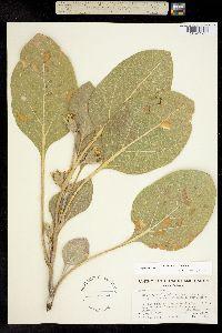 Agnorhiza ovata image