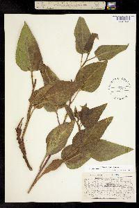 Image of Agnorhiza reticulata