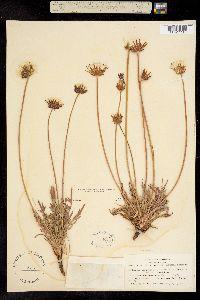 Image of Agoseris apargioides