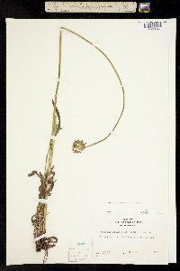 Image of Agoseris grandiflora