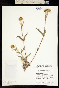 Image of Aldama fruticosa