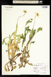 Image of Amblyolepis setigera