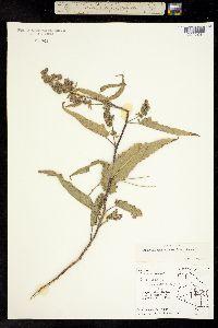 Ambrosia ambrosioides image