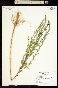 Image of Ambrosia bidentata