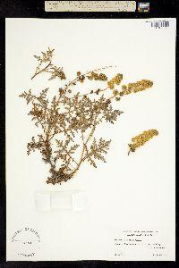 Ambrosia camphorata image