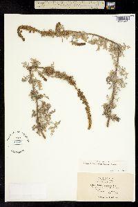 Image of Ambrosia chamissonis