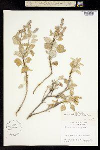 Image of Ambrosia chenopodiifolia