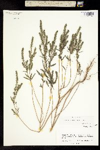 Image of Ambrosia cheiranthifolia