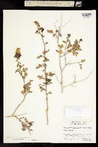 Ambrosia divaricata image