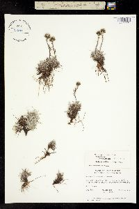 Image of Antennaria angustata
