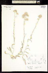 Image of Antennaria arcuata