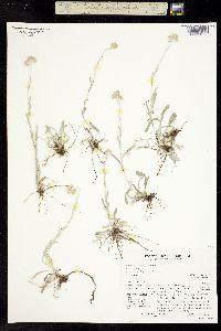Antennaria arcuata image