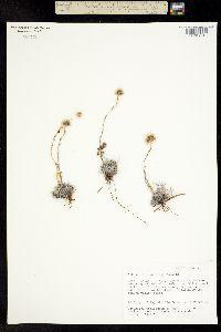 Image of Antennaria ekmaniana