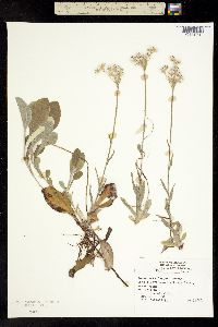 Image of Antennaria fallax