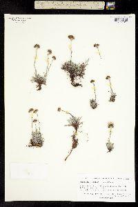 Image of Antennaria friesiana