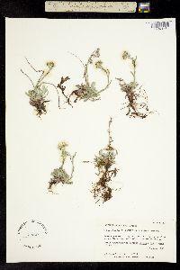 Antennaria rosea subsp. pulvinata image