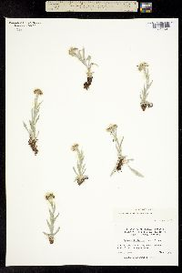 Image of Antennaria lanata