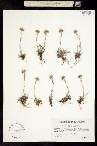 Antennaria philonipha image
