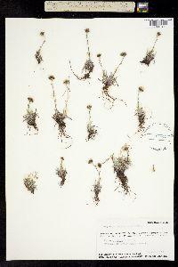 Image of Antennaria alaskana