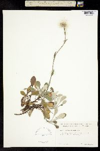 Image of Antennaria munda