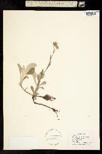 Image of Antennaria occidentalis