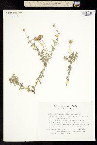 Image of Aphanostephus humilis