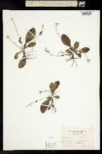 Image of Antennaria solitaria