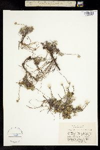 Image of Antennaria suffrutescens