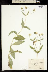Image of Arnica amplexicaulis