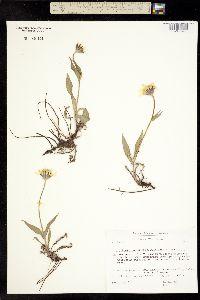 Image of Arnica angustifolia