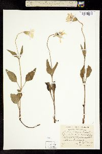 Image of Arnica cernua