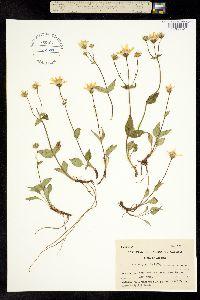 Image of Arnica gracilis