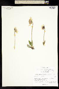 Image of Arnica griscomii
