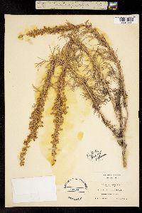 Image of Artemisia californica