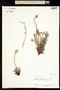Image of Artemisia furcata