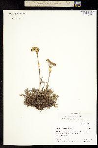 Image of Artemisia globularia