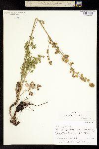 Image of Artemisia laciniatiformis