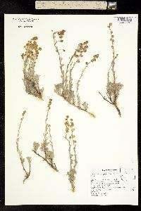 Image of Artemisia papposa